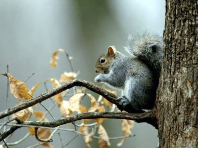 hkc_hd_gray-squirrel_555_600x450-large-content